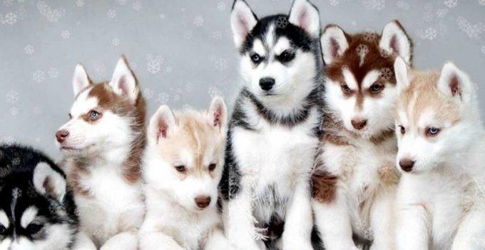 Best Dog Crates For Pomskies