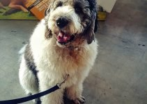 5 Best Dog Crates for Saint Berdoodles (Reviews Updated 2021)