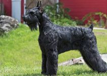 Best Dog Crates For Standard Schnauzers
