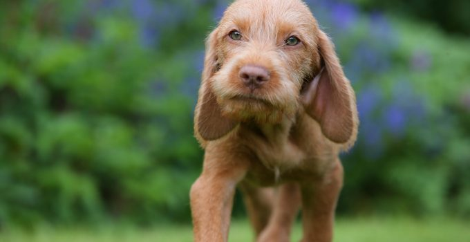 Best Dog Crates For Wirehaired Vizslas