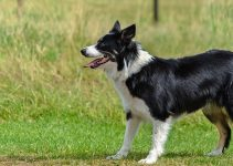 5 Best Dog Foods for Border Aussies (Reviews Updated 2021)