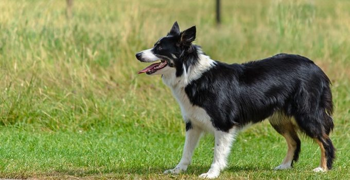 Best Dog Foods For Border Aussies