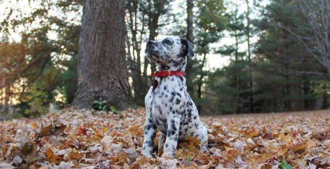 Best Dog Foods For Bullmatians