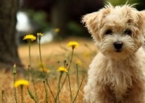 Best Dog Foods For Morkies