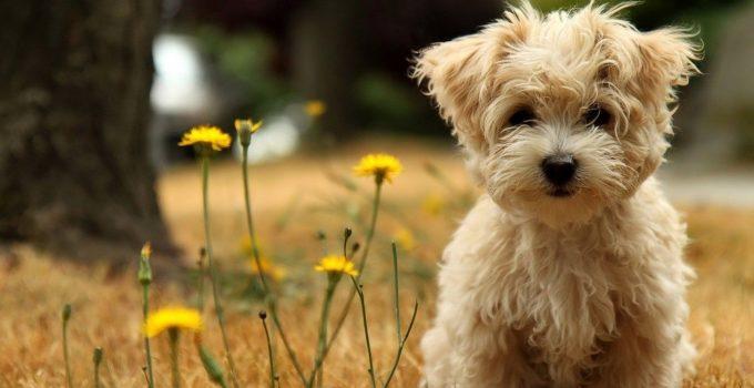 Best Dog Foods For Morkies