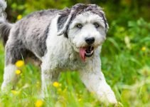 Best Dog Foods For Polish Lowland Sheepdogs