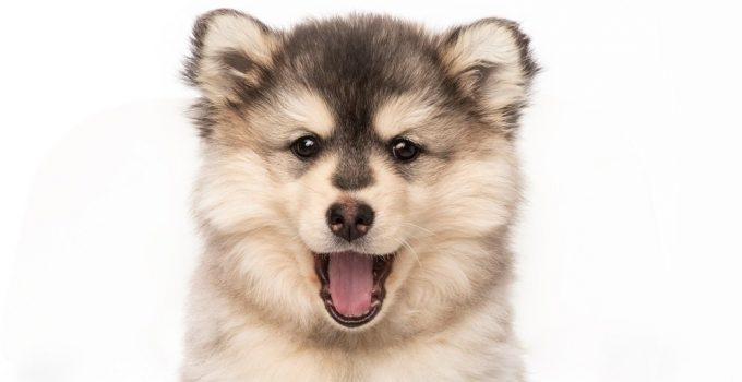 Best Dog Foods For Pomskies