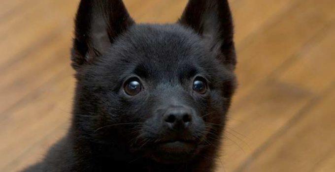 Best Dog Foods For Schipperkes