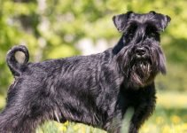 5 Best Dog Foods for Standard Schnauzers (Reviews Updated 2021)