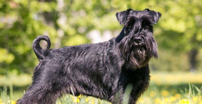 Best Dog Foods For Standard Schnauzers