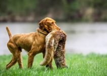 Best Dog Foods For Wirehaired Vizslas
