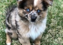 5 Best Dog Harnesses for Aussie Poms (Reviews Updated 2021)