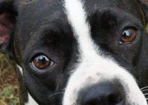 Best Dog Harnesses For Boston Boxers