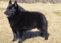 Best Dog Harnesses For Schipperkes