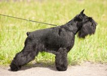 5 Best Dog Harnesses for Standard Schnauzers (Reviews Updated 2021)