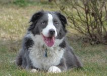 Best Dog Muzzles For Border Aussies