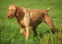 Best Dog Muzzles for Wirehaired Vizslas