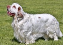 Best Dog Shampoos For Clumber Spaniels