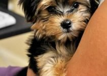 Best Dog Shampoos For Morkies