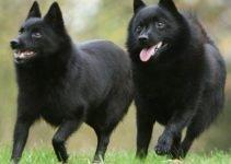 5 Best Dog Shampoos for Schipperkes (Reviews Updated 2021)