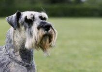 Best Dog Shampoos For Standard Schnauzers