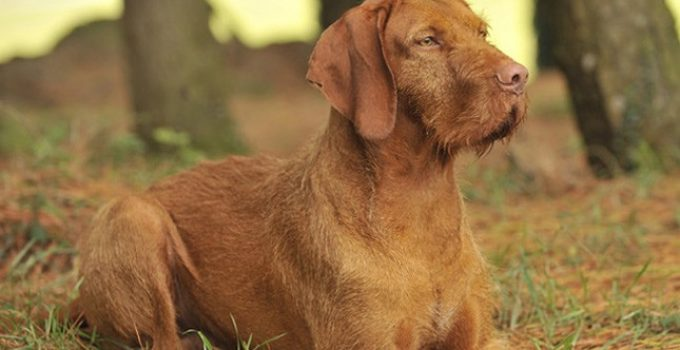 Best Dog Shampoos For Wirehaired Vizslas