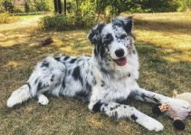Best Dog Toys For Border Aussies