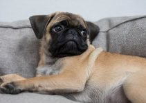 5 Best Dog Toys for Bull Pugs (Reviews Updated 2021)