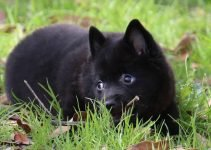 5 Best Dog Toys for Schipperkes (Reviews Updated 2021)