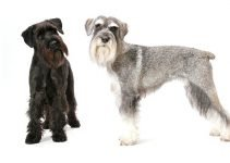 Best Dog Toys For Standard Schnauzers