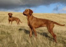 Best Dog Toys For Wirehaired Vizslas