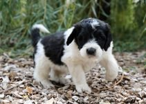 Best Puppy Foods For Saint Berdoodles