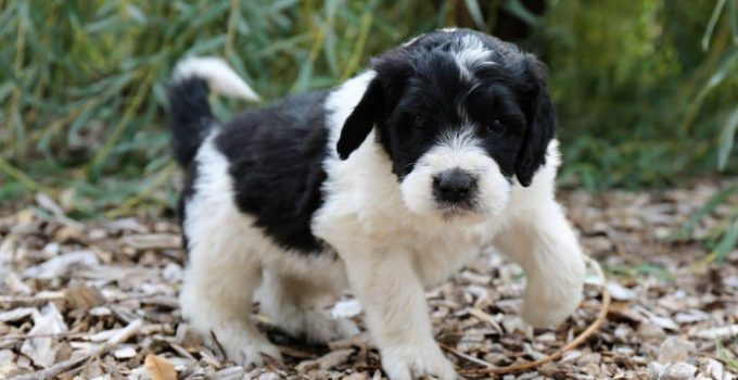 Best Puppy Foods For Saint Berdoodles