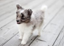 5 Best Puppy Foods for Aussie Poms (Reviews Updated 2021)