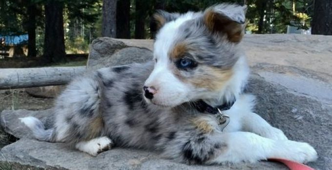 Best Puppy Foods For Border Aussies
