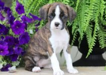 5 Best Puppy Foods for Boston Boxers (Reviews Updated 2021)