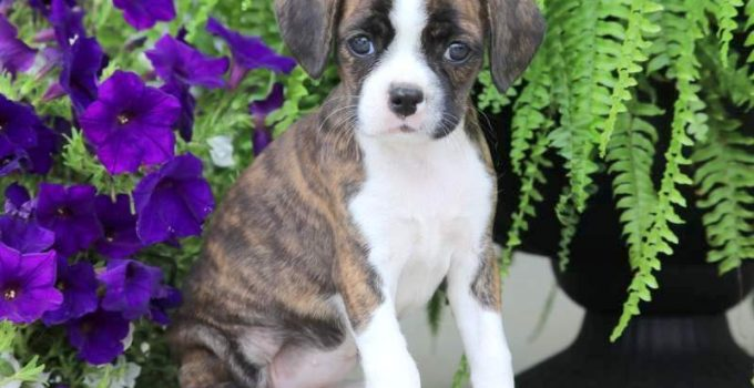 Best Puppy Foods For Boston Boxers