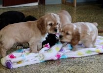 Best Puppy Foods For Boston Spaniels