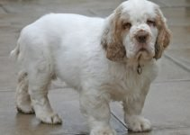 Best Puppy Foods For Clumber Spaniels