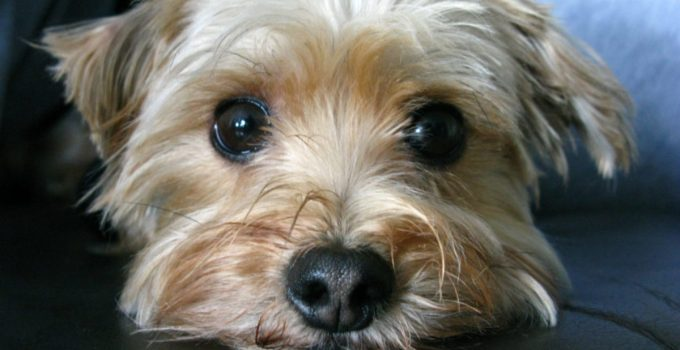 Best Puppy Foods For Morkies