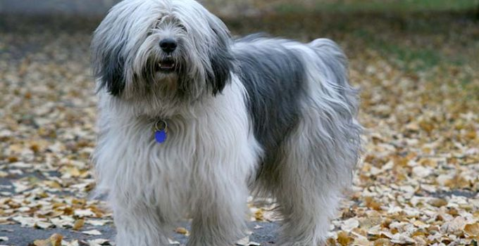 Best Puppy Foods For Polish Lowland Sheepdogs