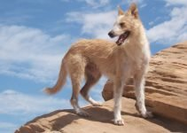 Best Puppy Foods For Portuguese Podengos