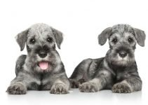 Best Puppy Foods For Standard Schnauzers