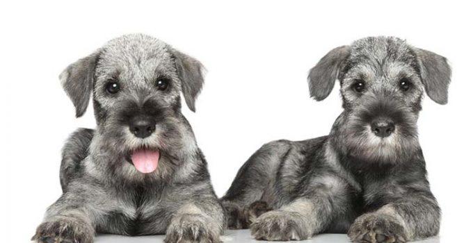 Best Puppy Foods For Standard Schnauzers