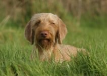 5 Best Puppy Foods for Wirehaired Vizslas (Reviews Updated 2021)
