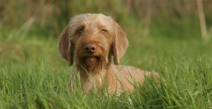 Best Puppy Foods For Wirehaired Vizslas