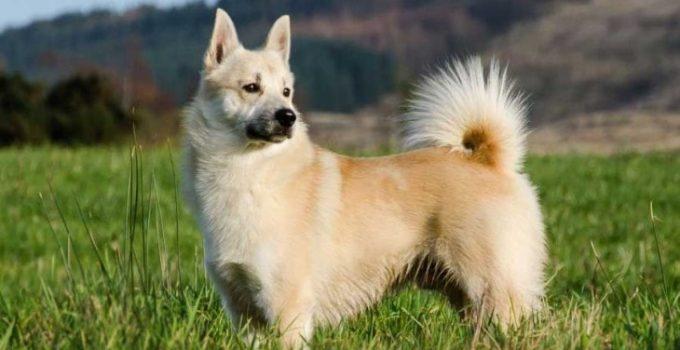 Best Dog Beds For Norwegian Buhunds