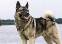 Best Dog Beds For Norwegian Elkhounds