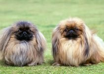 5 Best Dog Beds for Pekingese (Reviews Updated 2021)