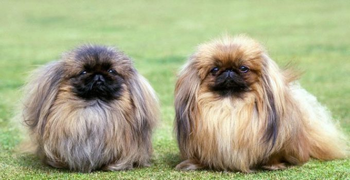 Best Dog Beds For Pekingese